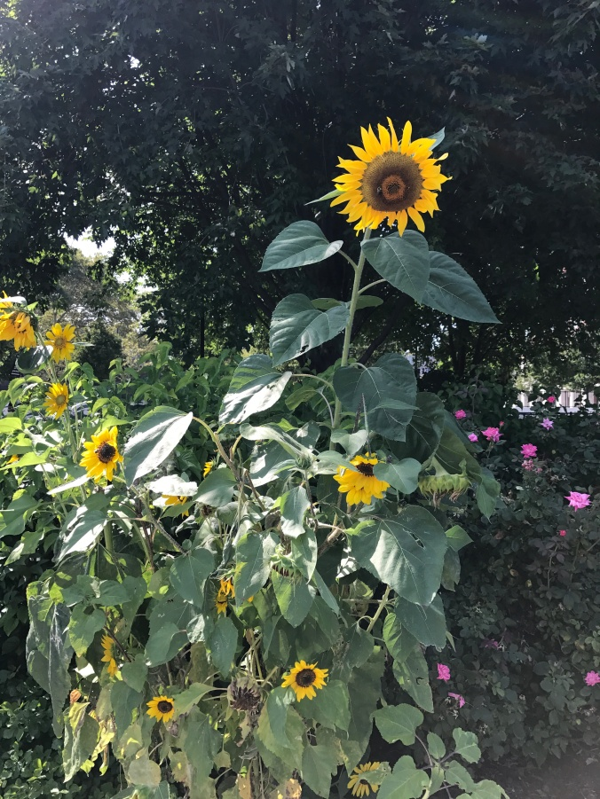 Blog photo - sunflowers