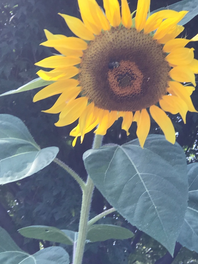 Blog photo sunflowers
