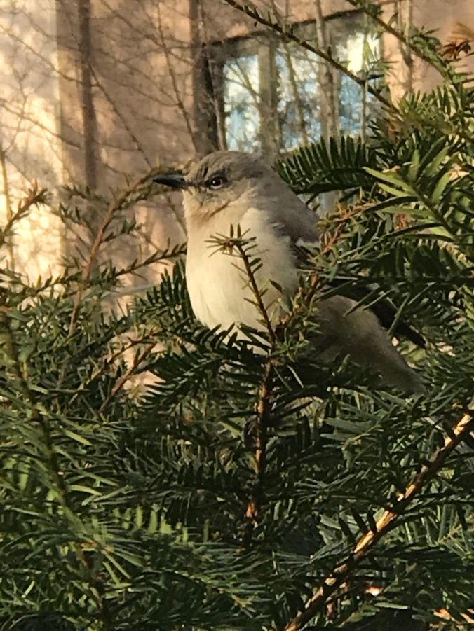 suddenly mad- inside my element (mockingbird on a bush at the park)